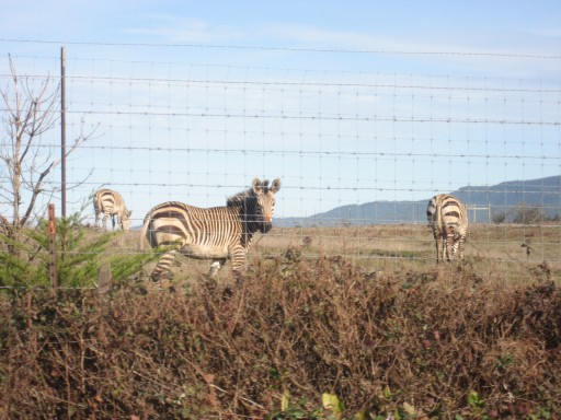 3 Lucky Zebras