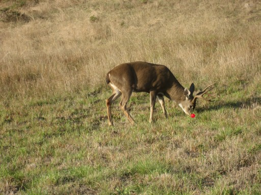 Rudolf-the Red Nosed Reindeer grazing-at-sea-ranch-california