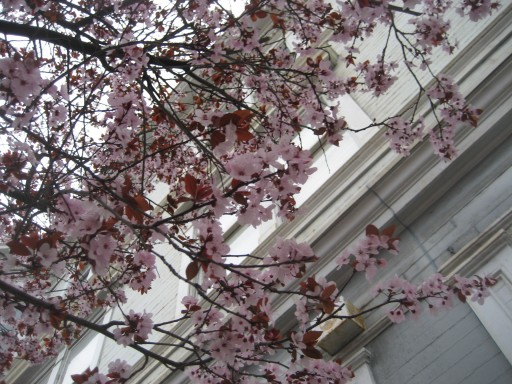 San Francisco Plum Blossoms