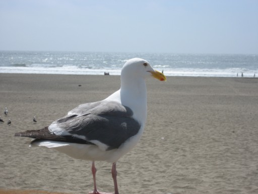 Urban Seagull tanning at Ocean Beach San Francisco