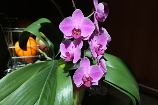 Jume Orchid