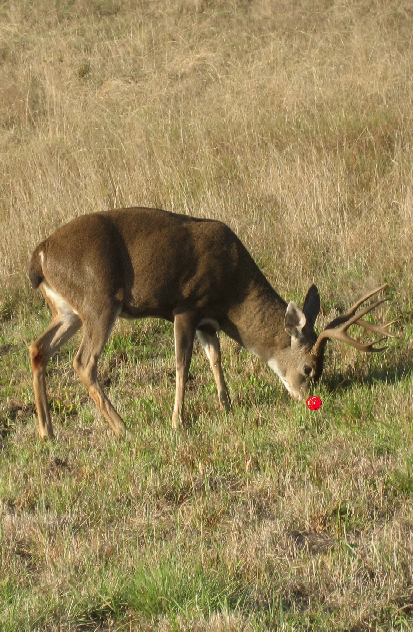 rudolf-grazing-at-sea-ranch-california